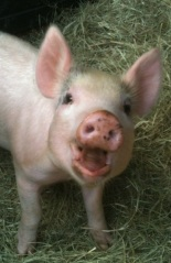 Pig_Sadie_Hope_Animal_Sanctuary_HAS